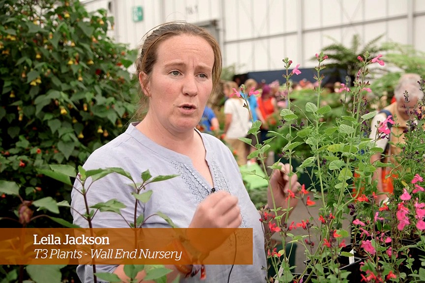 Caring for salvias - Golden Rules - Leila Jackson