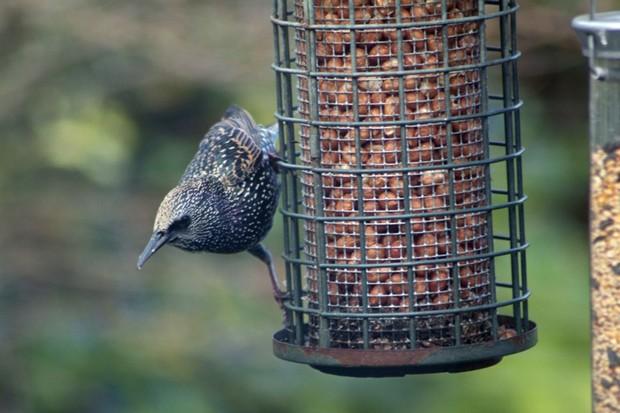 A starling on a bird nut feeder