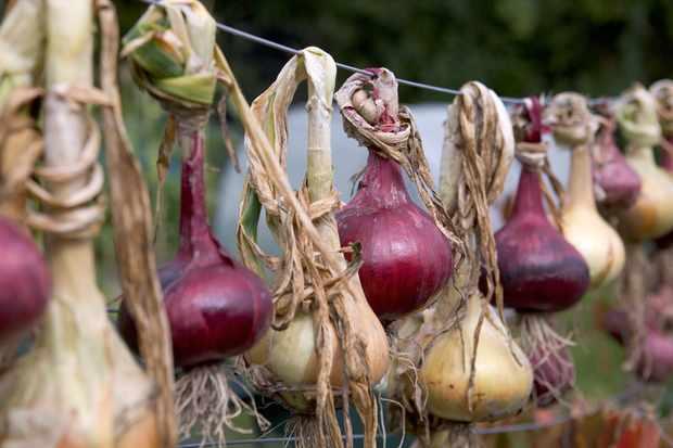 hanging-onions-3