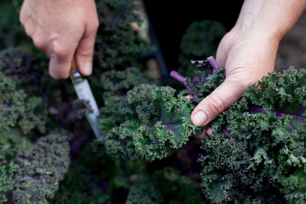 Harvesting purple kale with a knife