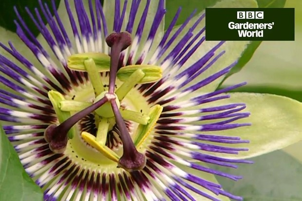 How to plant a passion flower