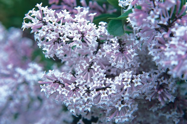 Pale-purple lilac blooms
