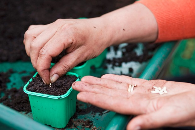 Sowing cucumber seed