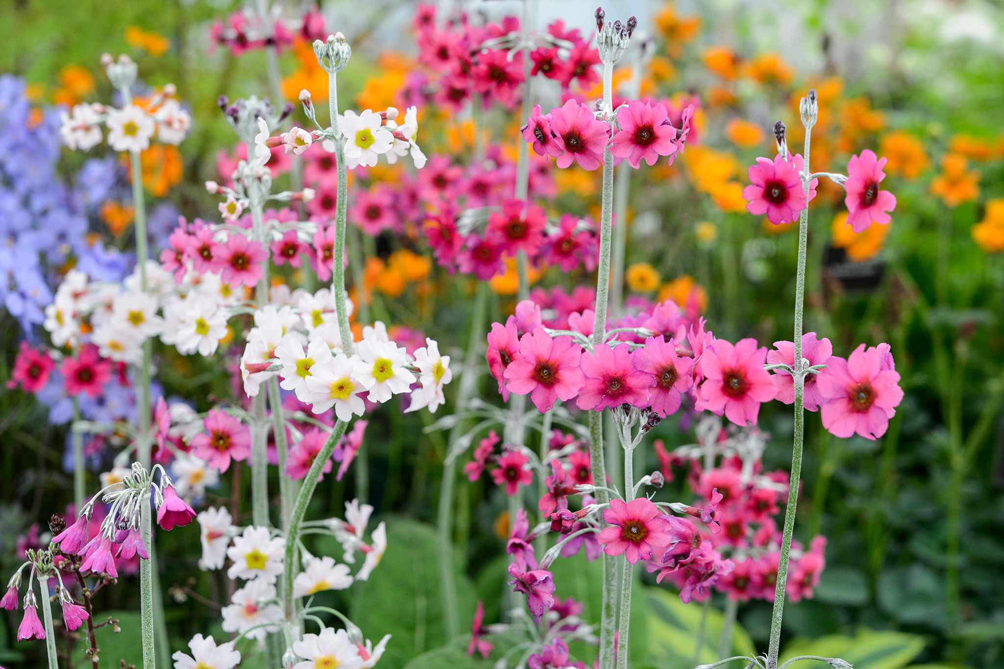 Get the best from wet soil - candelabra primulas