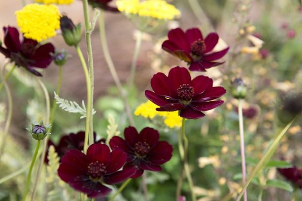 Brown-red blooms of chocolate cosmos