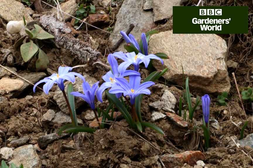 How to plant bulbs in hard dry soil