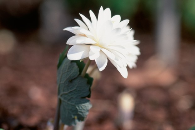 White flower and clasping leaves of bloodroot