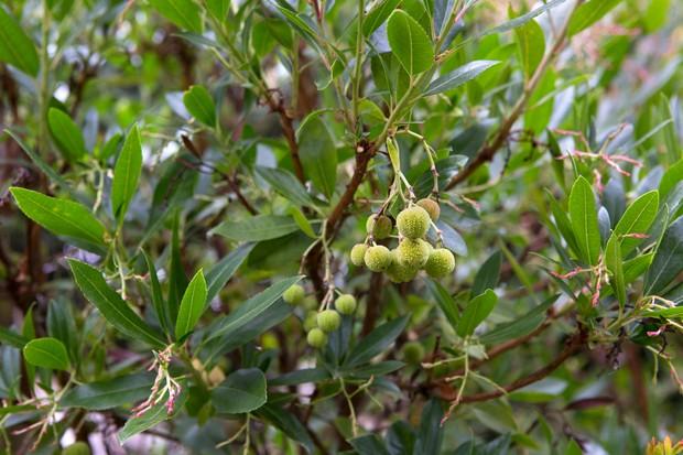 strawberry-tree-arbutus-unedo-9
