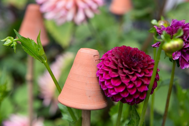 protecting-dahlias-from-earwigs-2