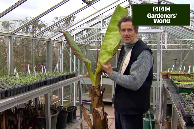 How to revive a banana plant in spring
