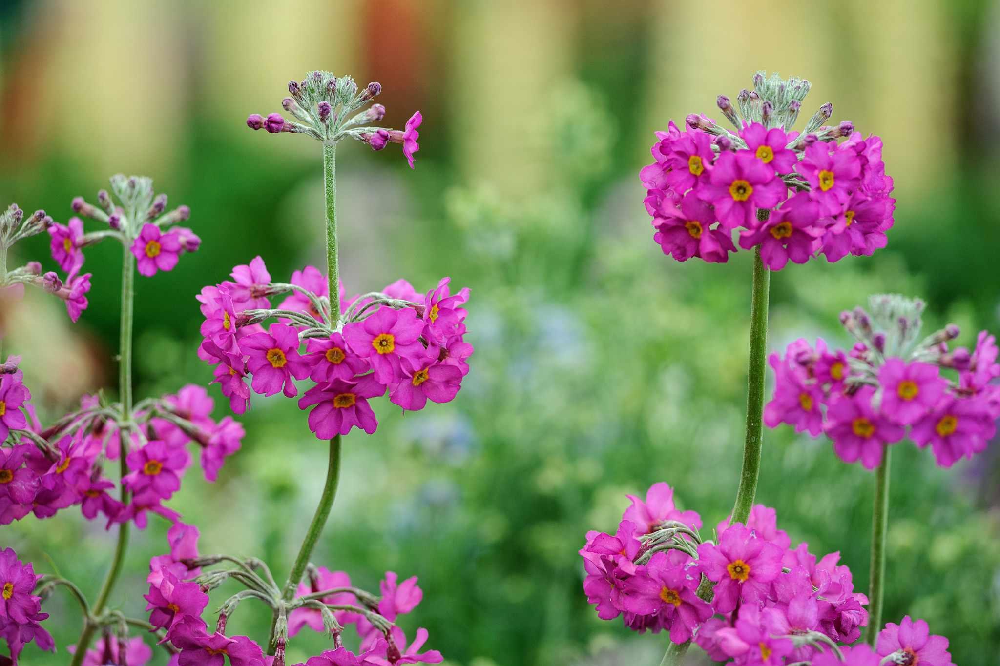 Candelabra primula flowers