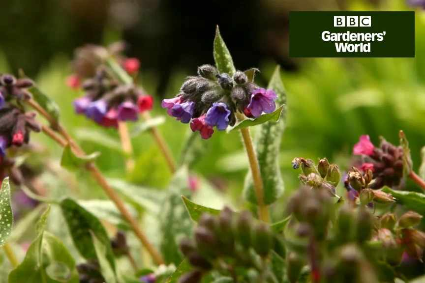 How to divide pulmonaria video
