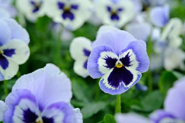 Blue and white pansy 'Adonis'
