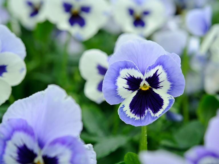 Pretty Pansies To Grow Bbc Gardeners World Magazine