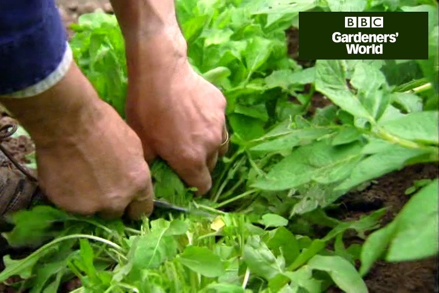Harvesting veg crops in May video