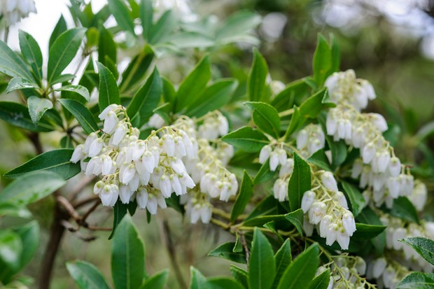 Bell-shaped white flowers of lily of the valley bush