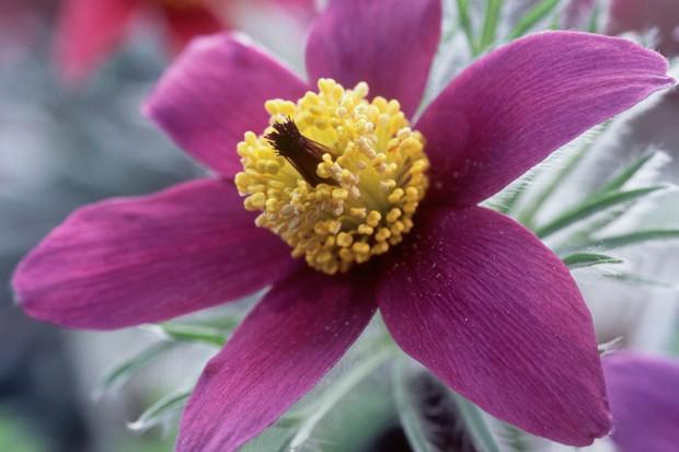 Yellow-centered, magenta pulsatilla flower