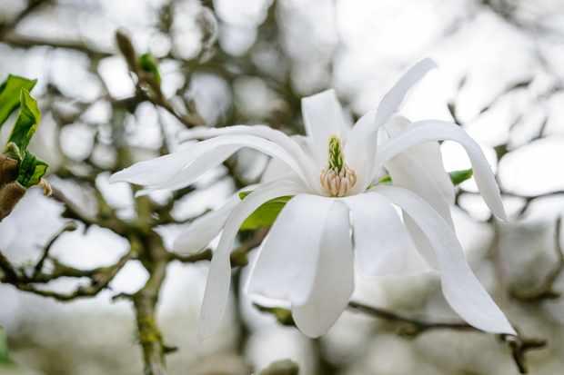 magnolia-stellata-3