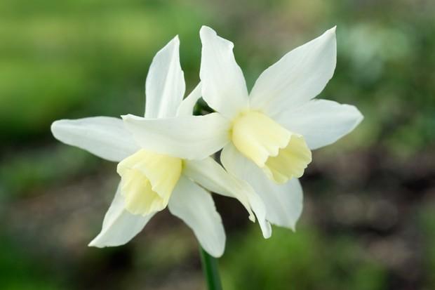 Lemon-white star-shaped flowers of Narcissus 'Toto'