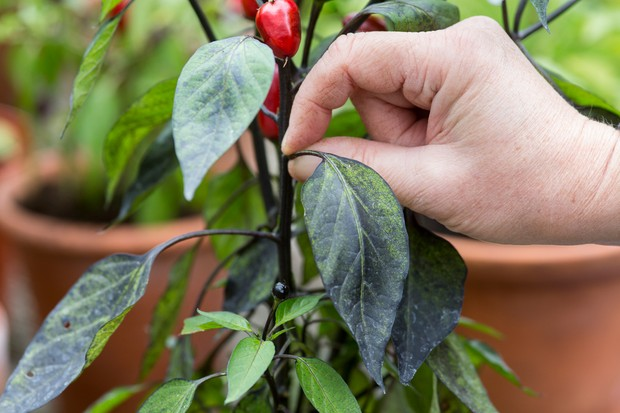 removing-leaves-from-chillies-2