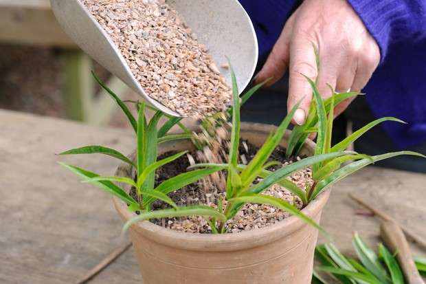 potted-penstemon-cuttings-3