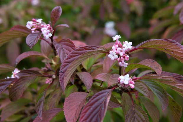Tiny pink flowers and maroon foliage of viburnum 'Dawn'