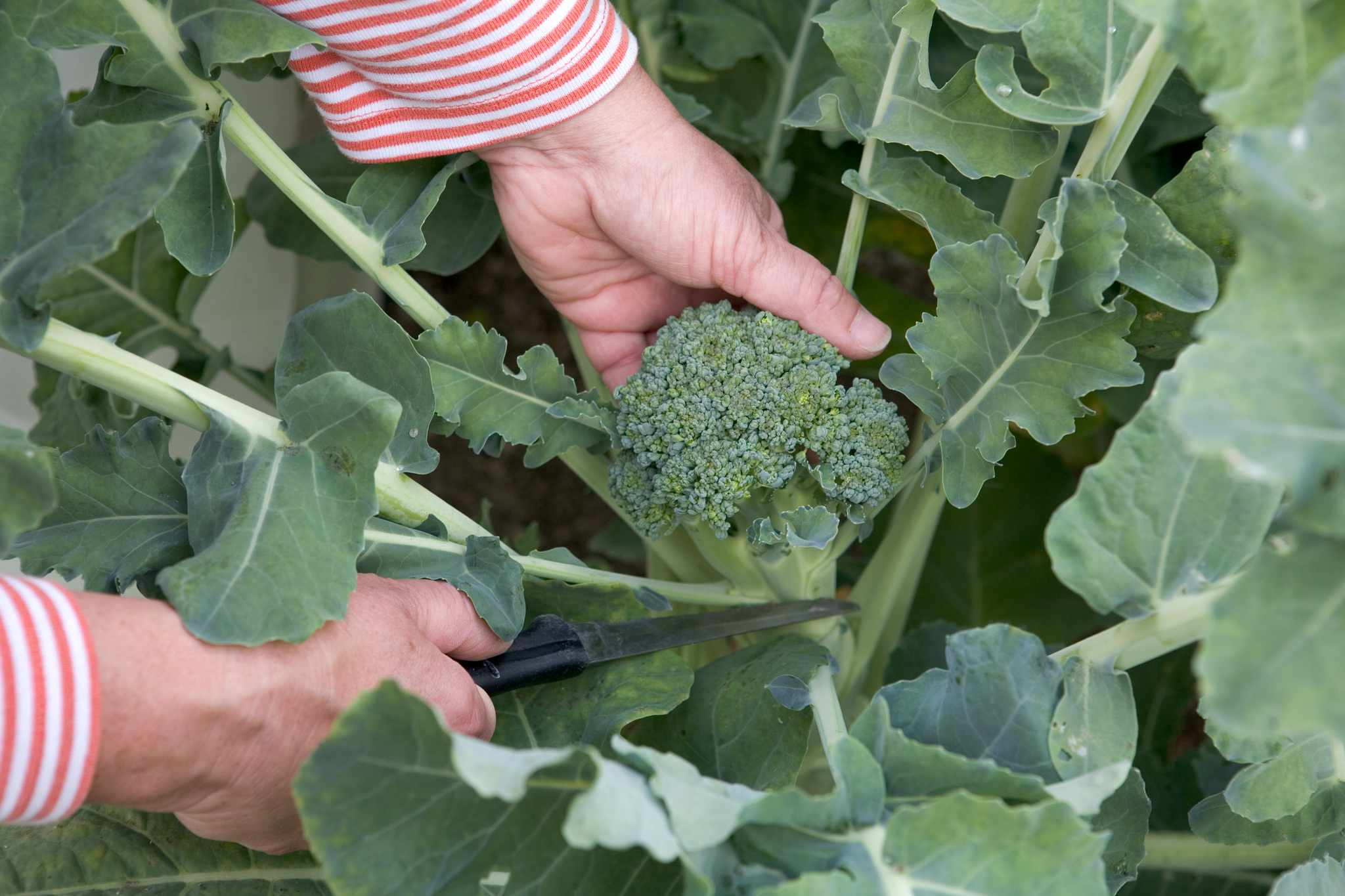 How to grow calabrese