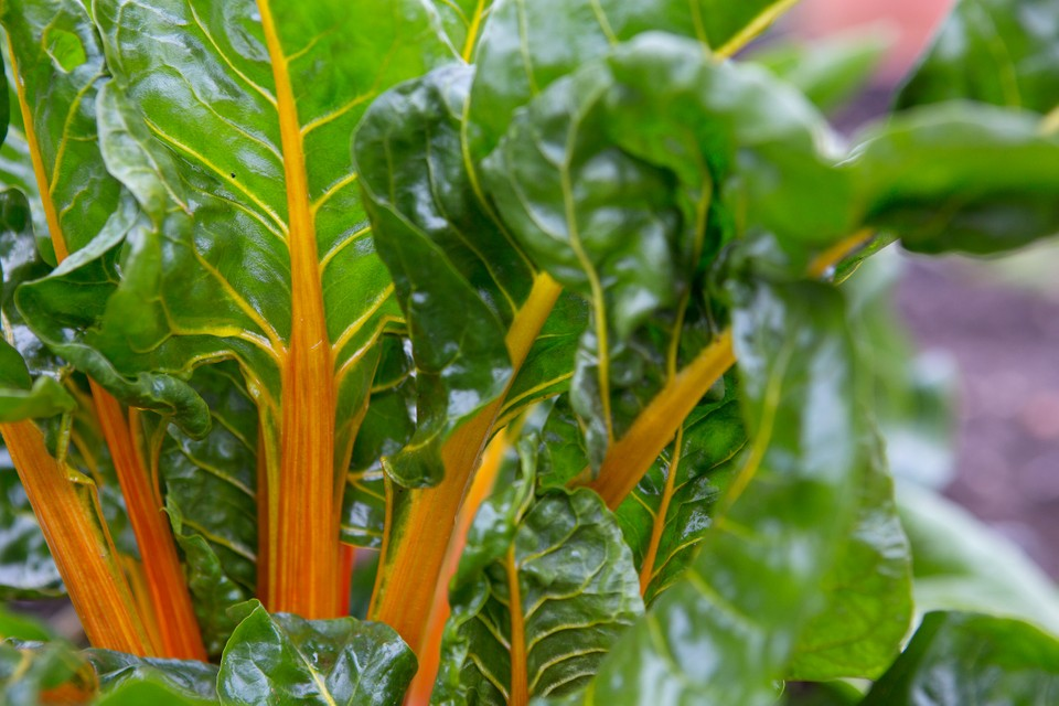 How To Grow Swiss Chard Bbc Gardeners World Magazine
