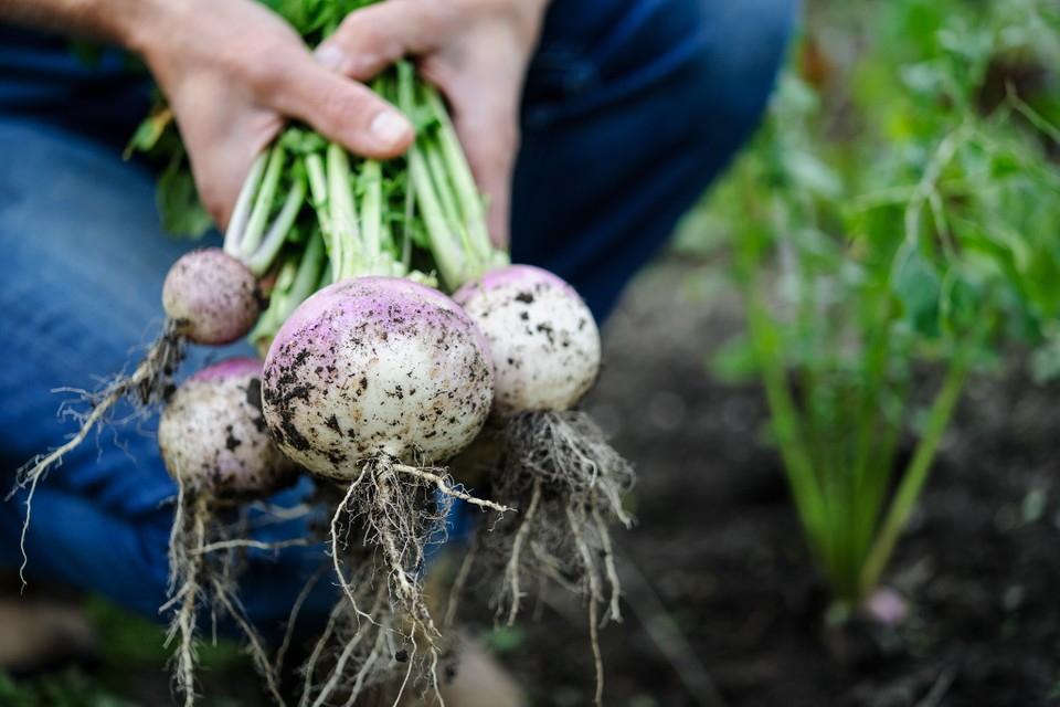 Image result for turnips growing