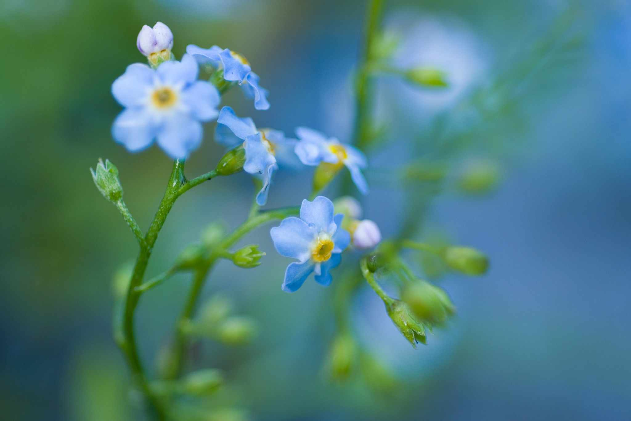 Tiny blue flowers of water forget-me-not
