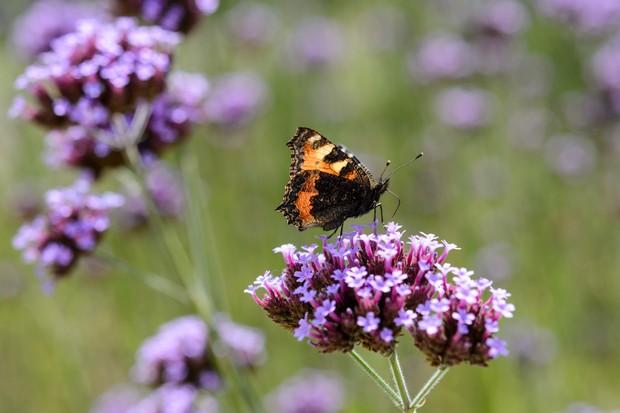 tortoiseshell-butterfly-on-verbena-bonariensis-5