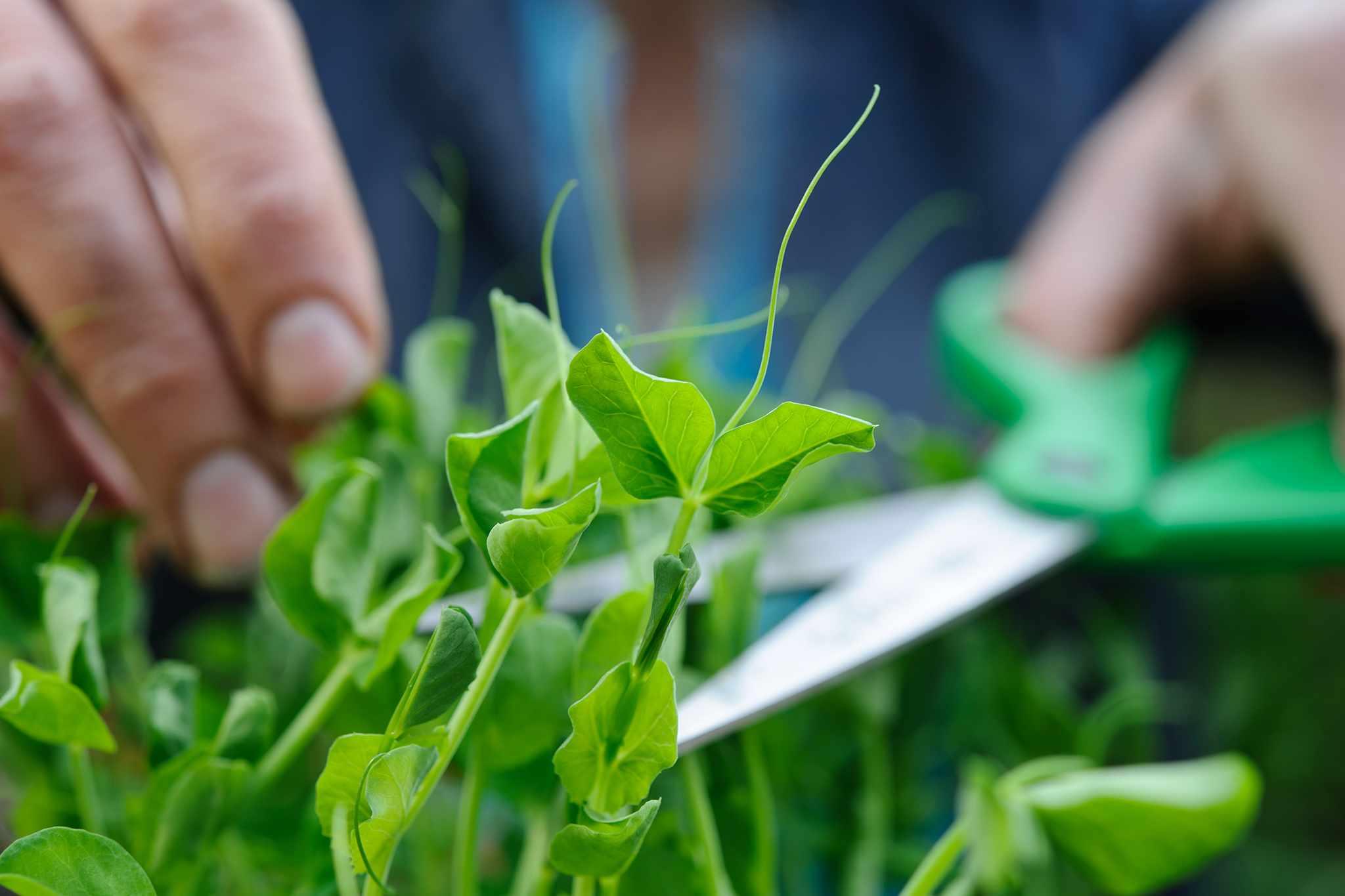 Harvesting microgreens