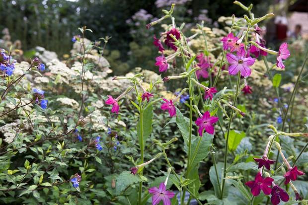 Magenta nicotinia flowers