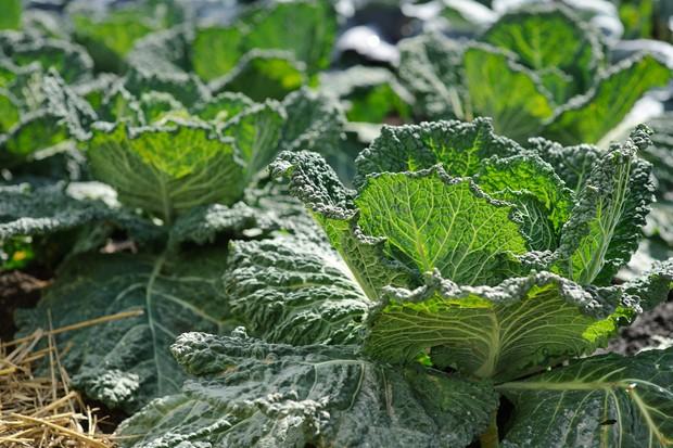 savoy-cabbages-2