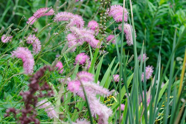 Fluffy pink flowers of Sanguisorba officinalis