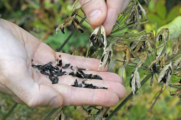 extracting-agapanthus-seeds-from-its-pods-3