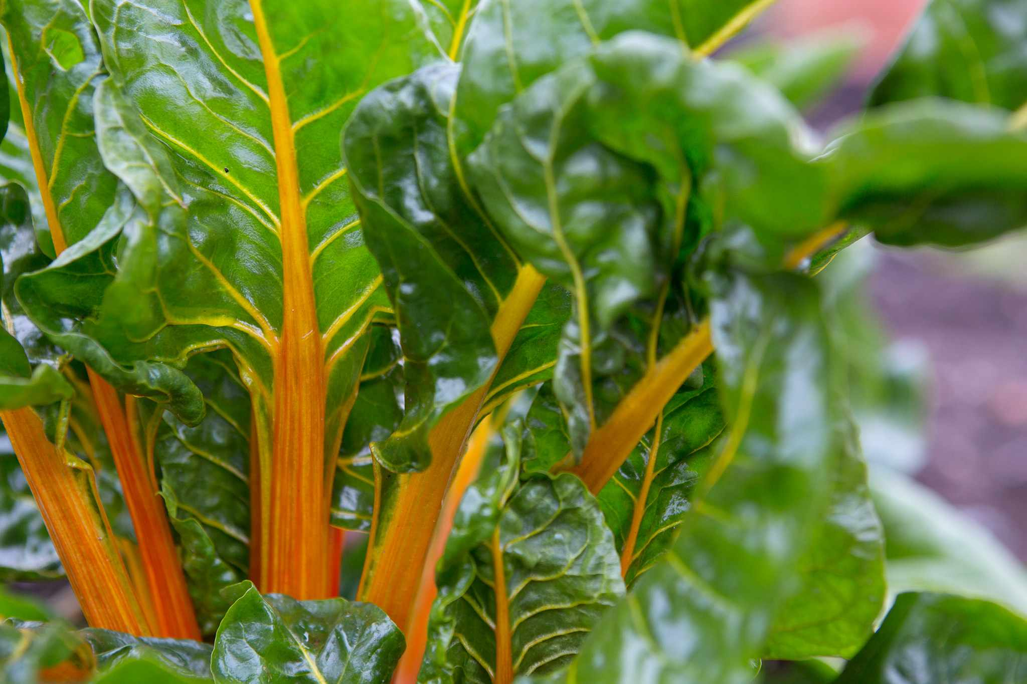 Yellow-stemmed Swiss chard ready to harvest