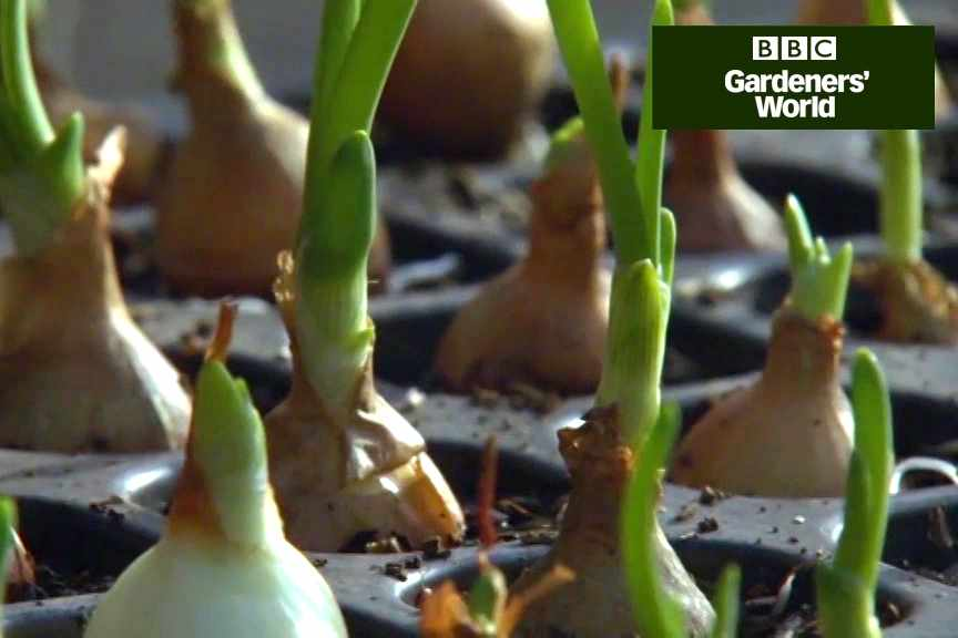 Growing onions from sets video
