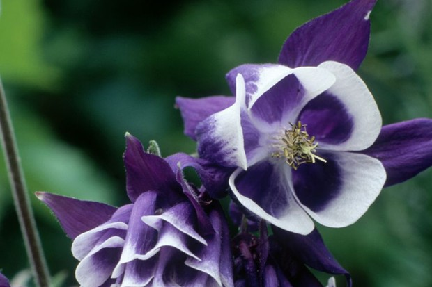 Purple-blue and white, double flowers of aquilegia 'Adelaide Addison'
