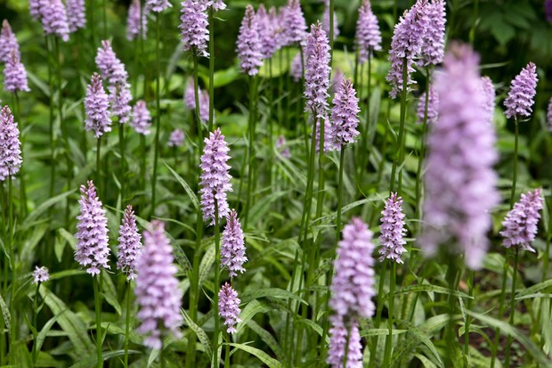 common-spotted-orchid-dactylorhiza-fuchsii-3