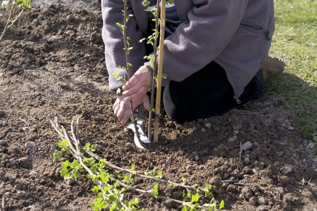 Growing redcurrants - prunung the stem