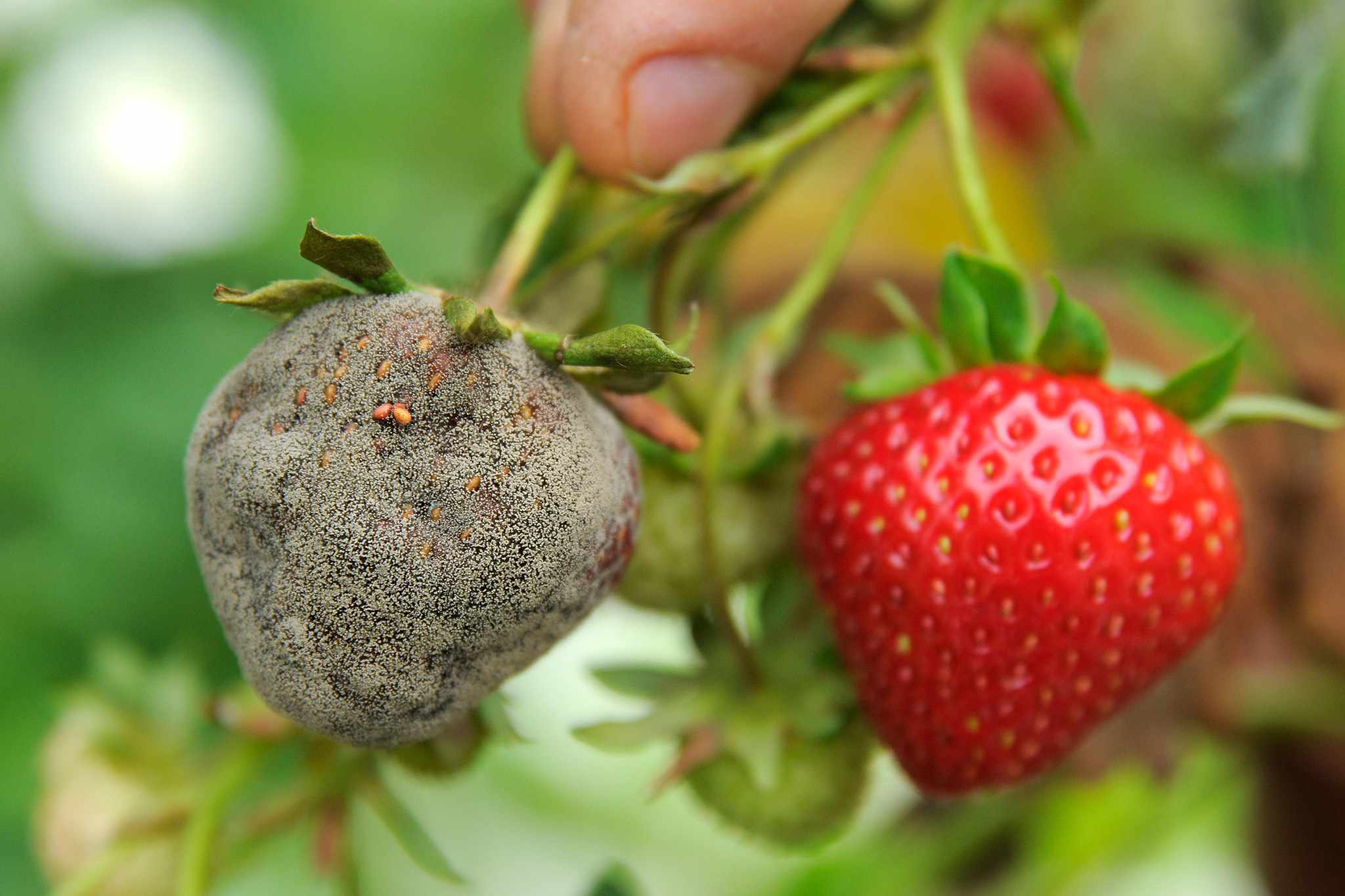 A strawberry thickly covered in botrytis grey mould