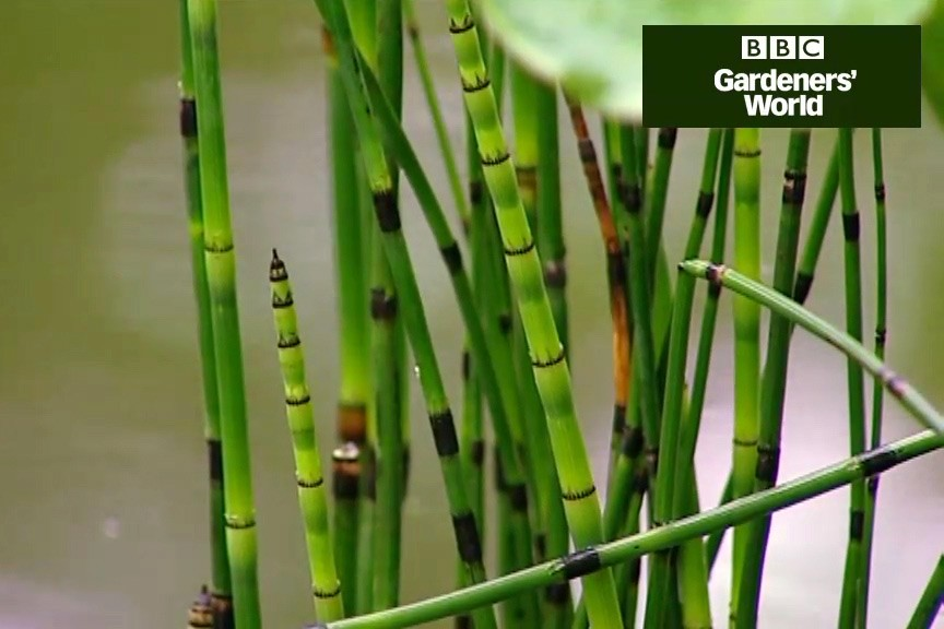 How to grow marginal pond plants video