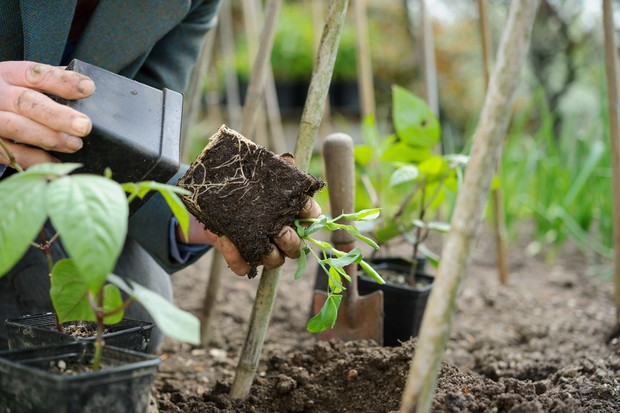 Planting young French bean plants from pots into the ground beside supporting canes