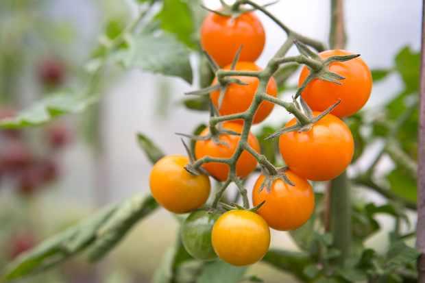 tomato-golden-cherry-3