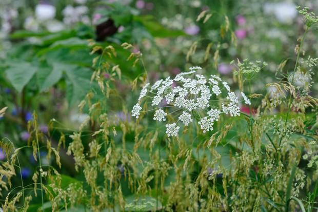 Bishop's flower (Ammi majus)