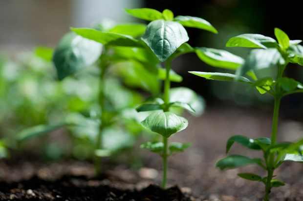 row-of-basil-plants-2