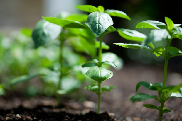 A row of young basil plants