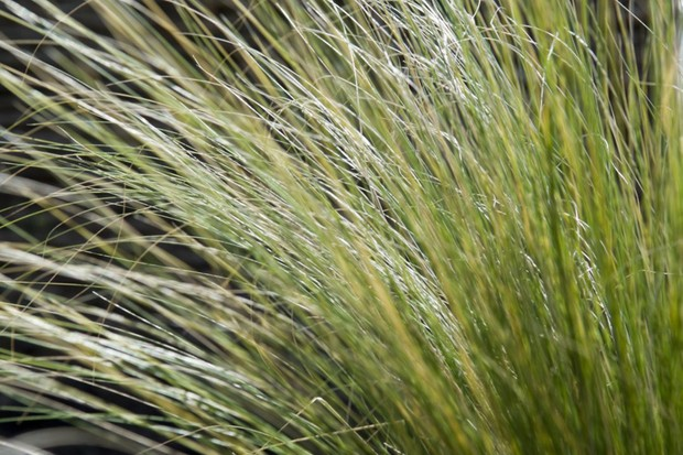 Fluffy Mexican grass Stipa tenuissima