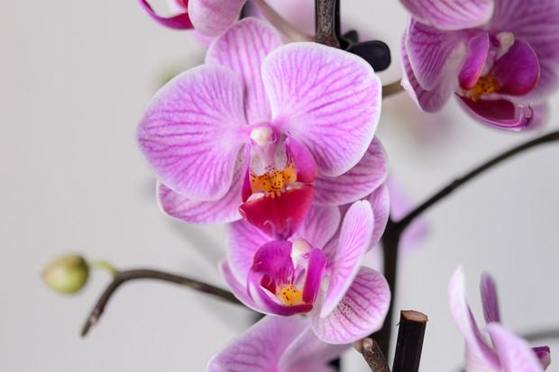 phalaenopsis-orchid-9